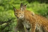 Les Grottes de Han - Han-Sur-Lesse - Lynx