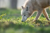 The Caves of Han - Animal park - Arctic Wolf