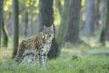The Caves of Han - Animal park - Lynx